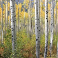 Be still and breathe this in.  Vibrant, colorful aspens on Independence Pass, Colorado.